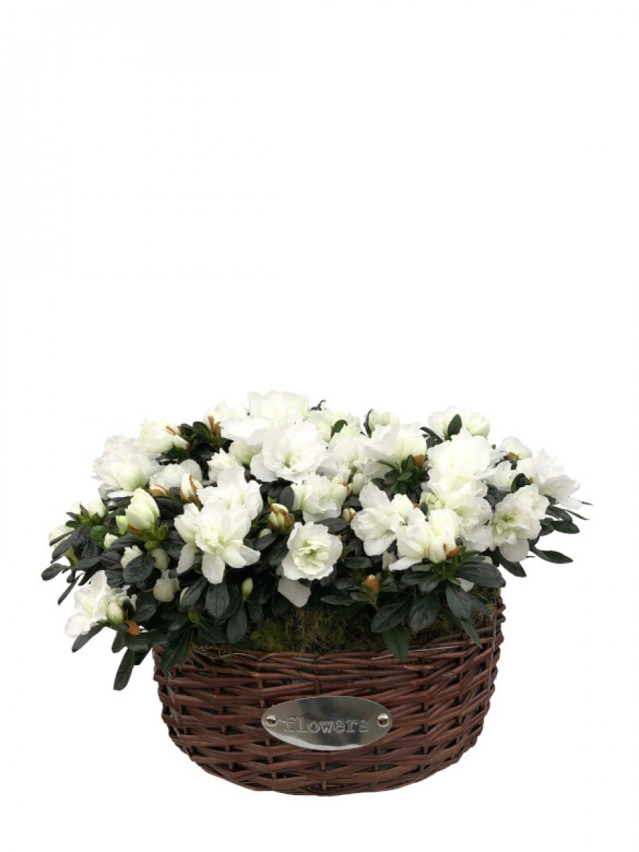 Cesta de cuatro azaleas blancas