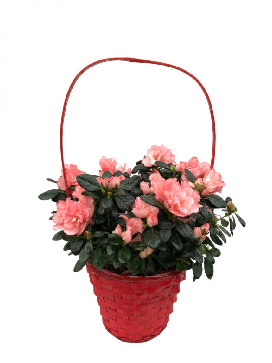 Cesta de azaleas rosas