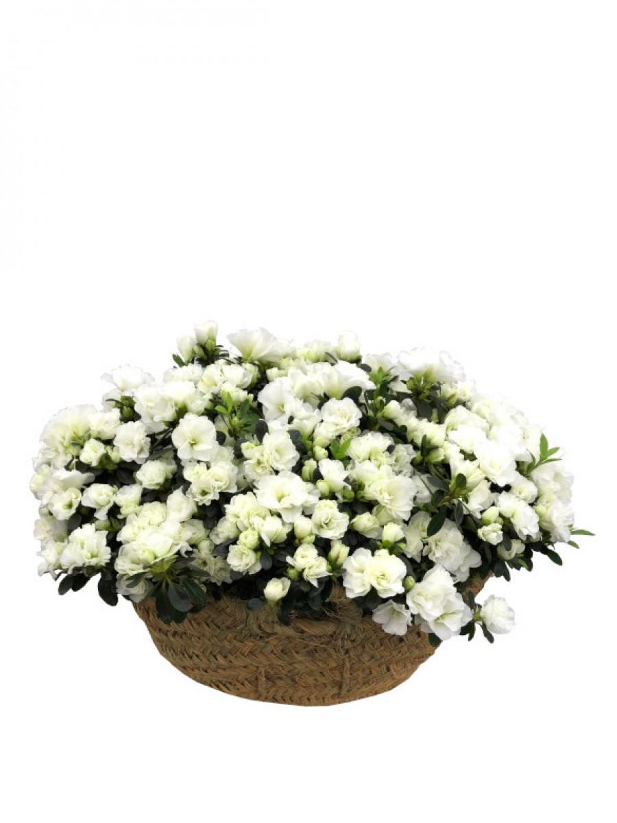 Cesto de azaleas blancas