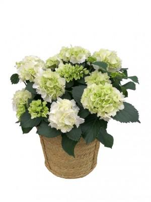 Cesta grande mimbre de hortensias blancas