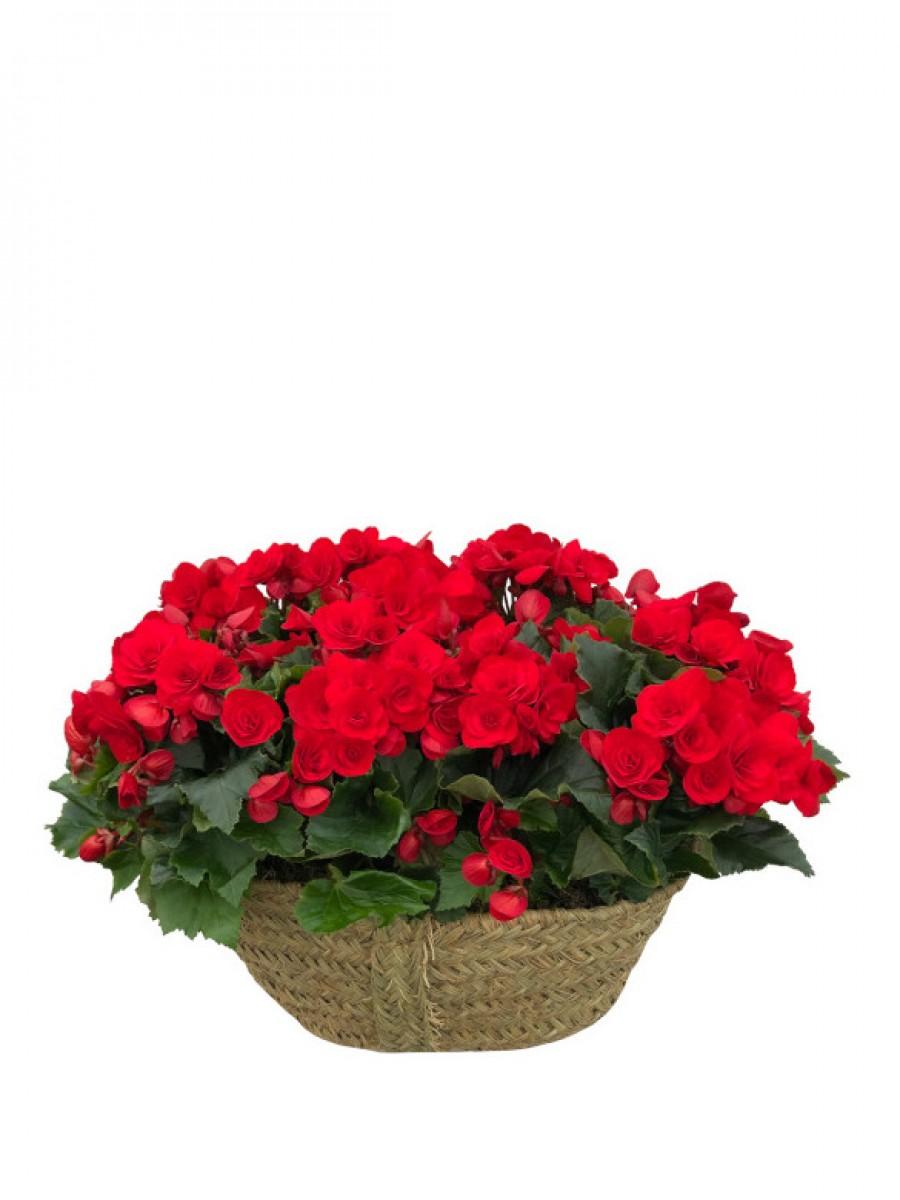 Cesta de begonias rojas