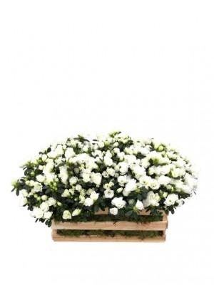 Azaleas blancas en madera