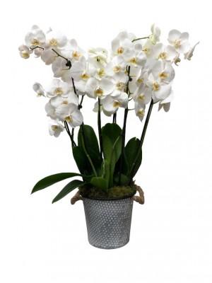 Orquidea blanca en latón