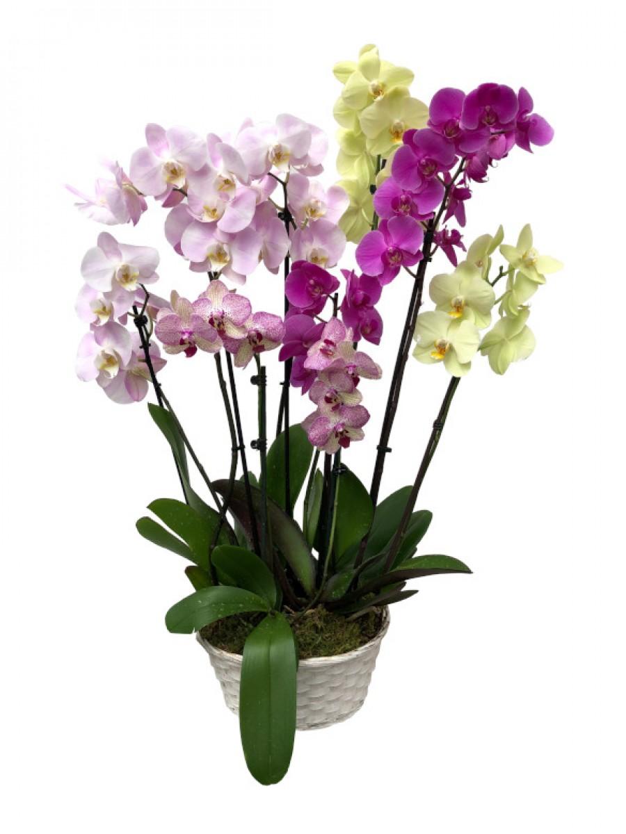 Orquideas colores variados en mimbre