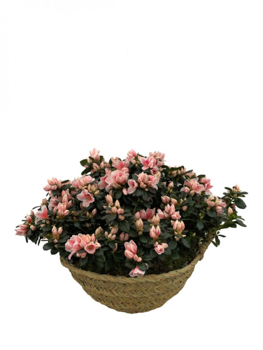 Azaleas rosas en cesto