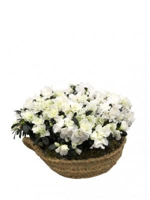 Azaleas blancas en cesto