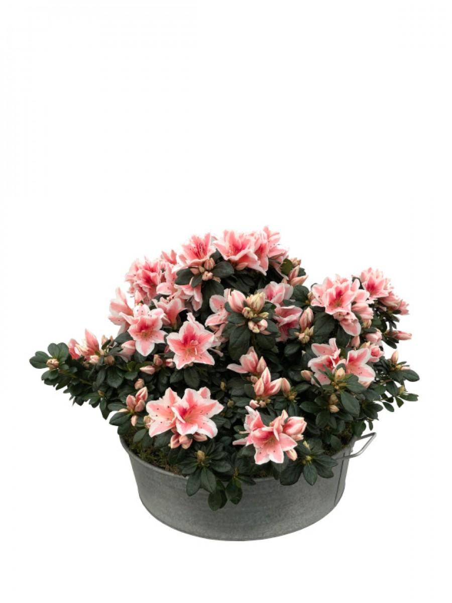 Azaleas rosas en latón