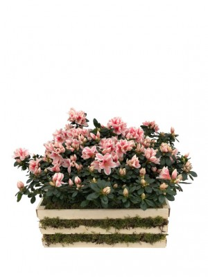 Azaleas rosas en madera