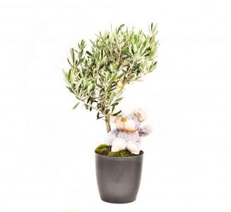 olivo maceta m17
