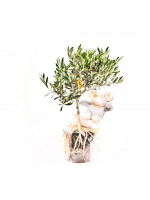 1 olivo maceta prebonsai 8 años