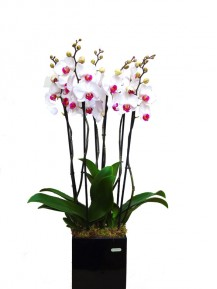 Centro orquideas blancas en Maceta decorativa