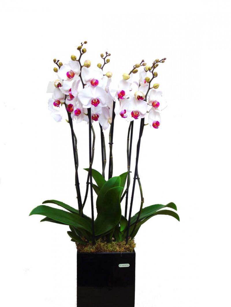 Centro orquideas blancas en maceta decorativa - Maceta para orquideas ...