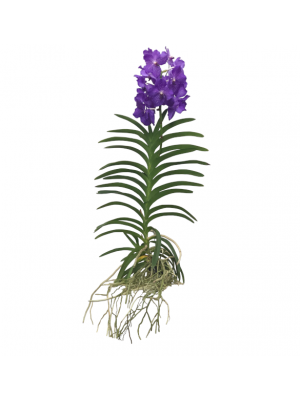 Orquidea Vanda Morada