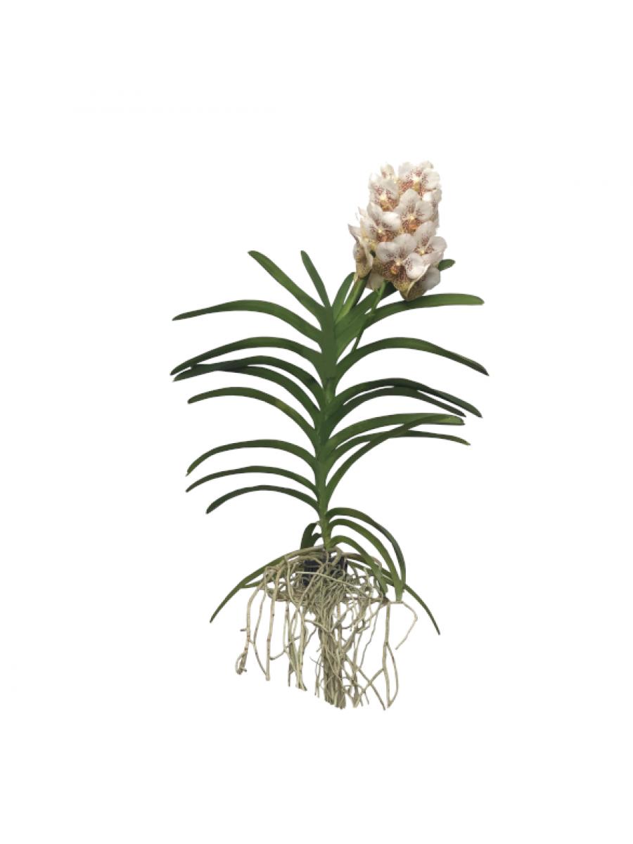 Orquidea Vanda Blanca