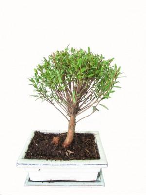 Bonsai Syzigium