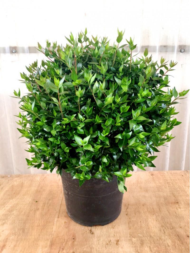 Abelia floribunda en maceta for Plantas de exterior para macetas