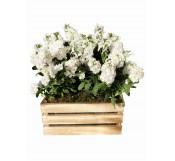 Alelies Blancos en cesta de madera