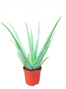 Aloe Vera grande