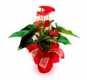 Anthurium Decorado