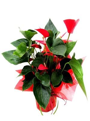 1 Anthurium decorado