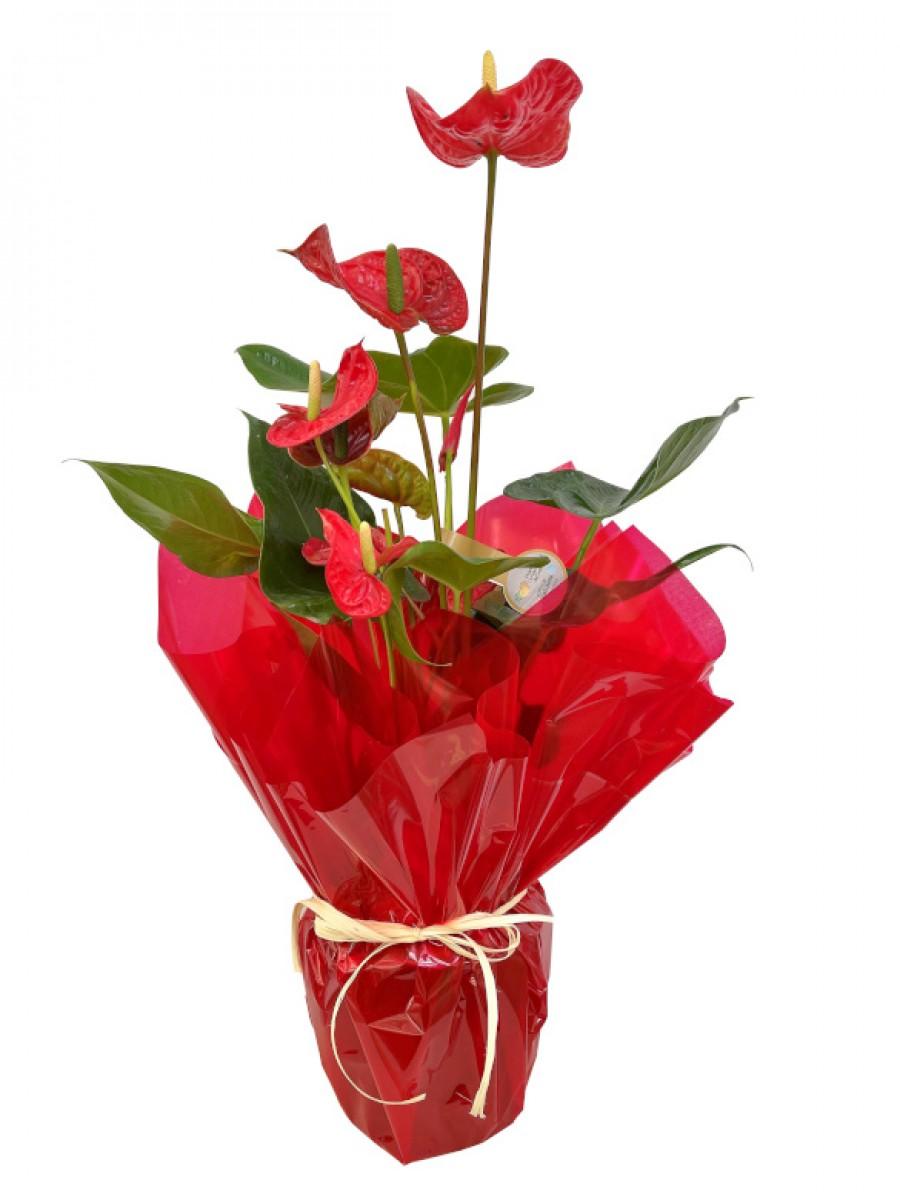 Anthurium envuelto en papel de regalo