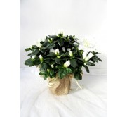1 Azalea blanca decorada