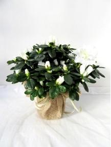 Azalea blanca decorada
