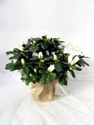 Azalea blanca decorada(DISPONIBLE SOLO PARA MADRID)