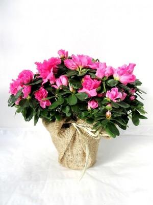 Azalea decorada