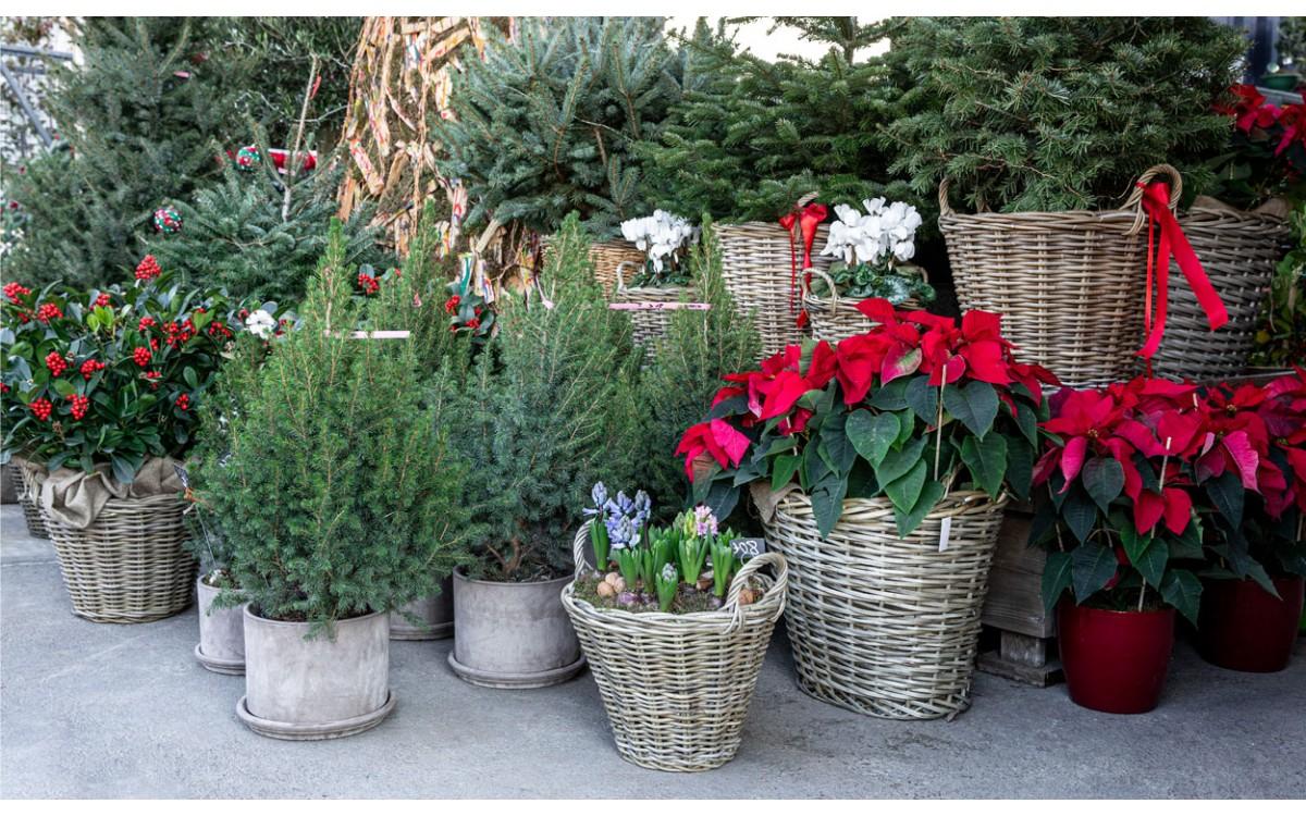 10 plantas para decorar en navidad