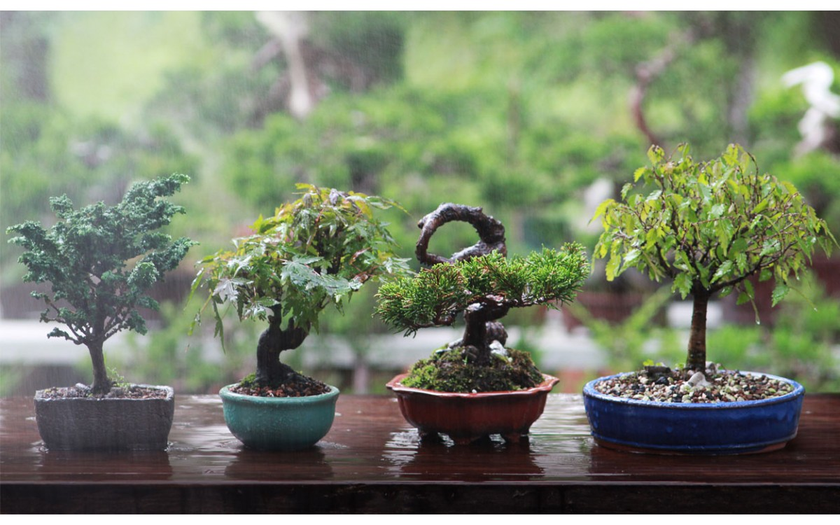 5 mejores bonsáis para iniciarse en el arte de los árboles en miniatura