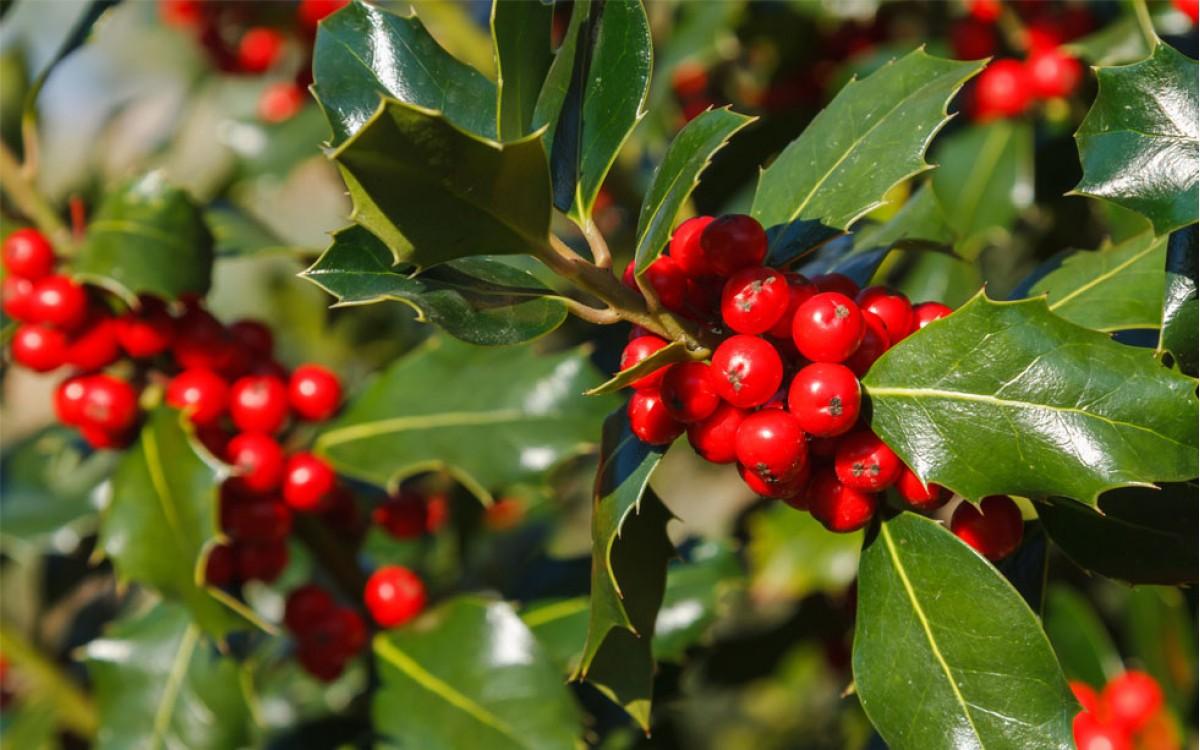 Acebo (Ilex Aquifolium)