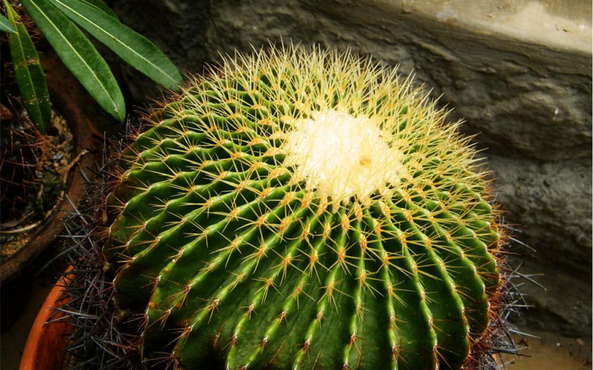 Asiento de Suegra o Cactus ECHINOCACTUS GRUSONII