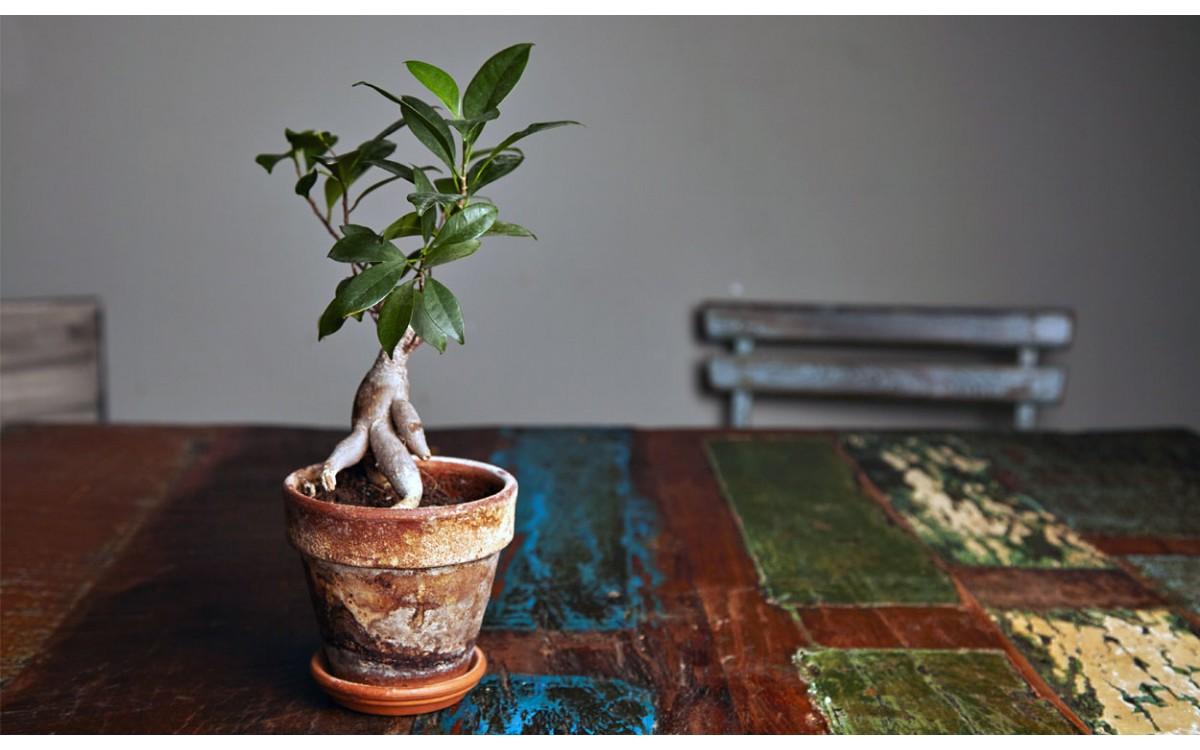 Bonsái de Ficus Ginseng