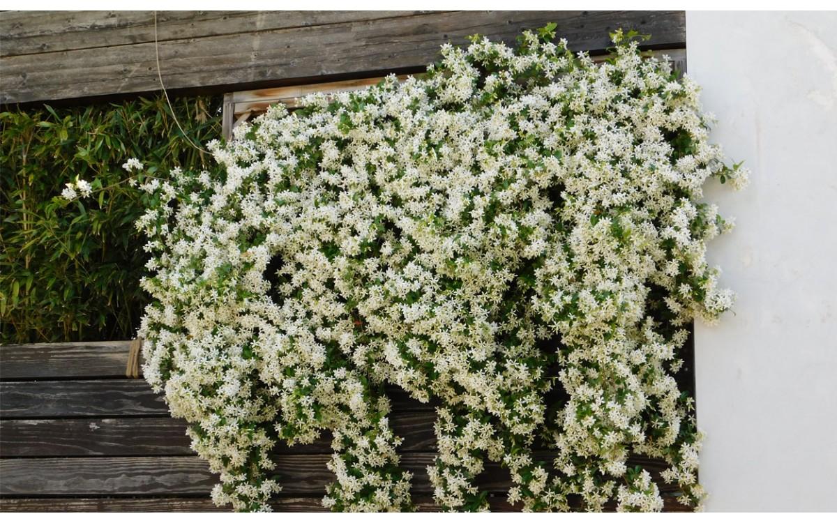 El Trachelospermum Jasminoides, la más hermosa de las trepadoras