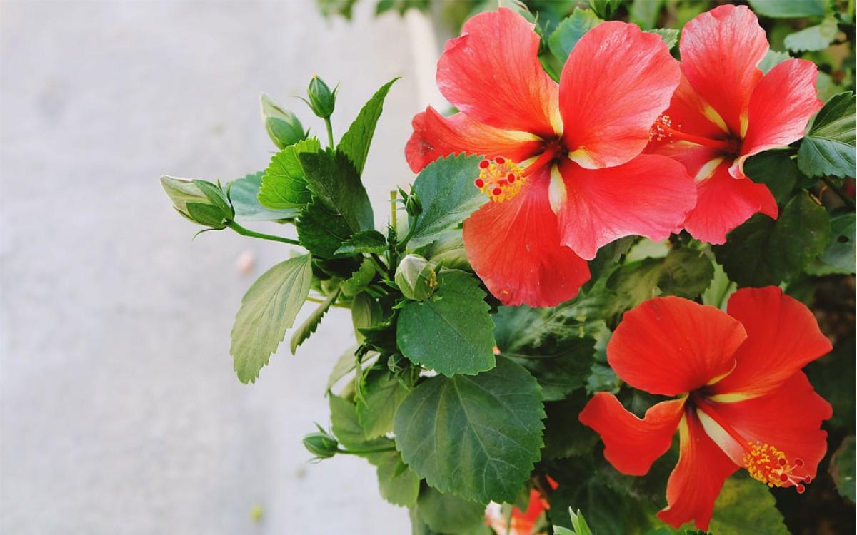 Hibiscus la Flor del Beso