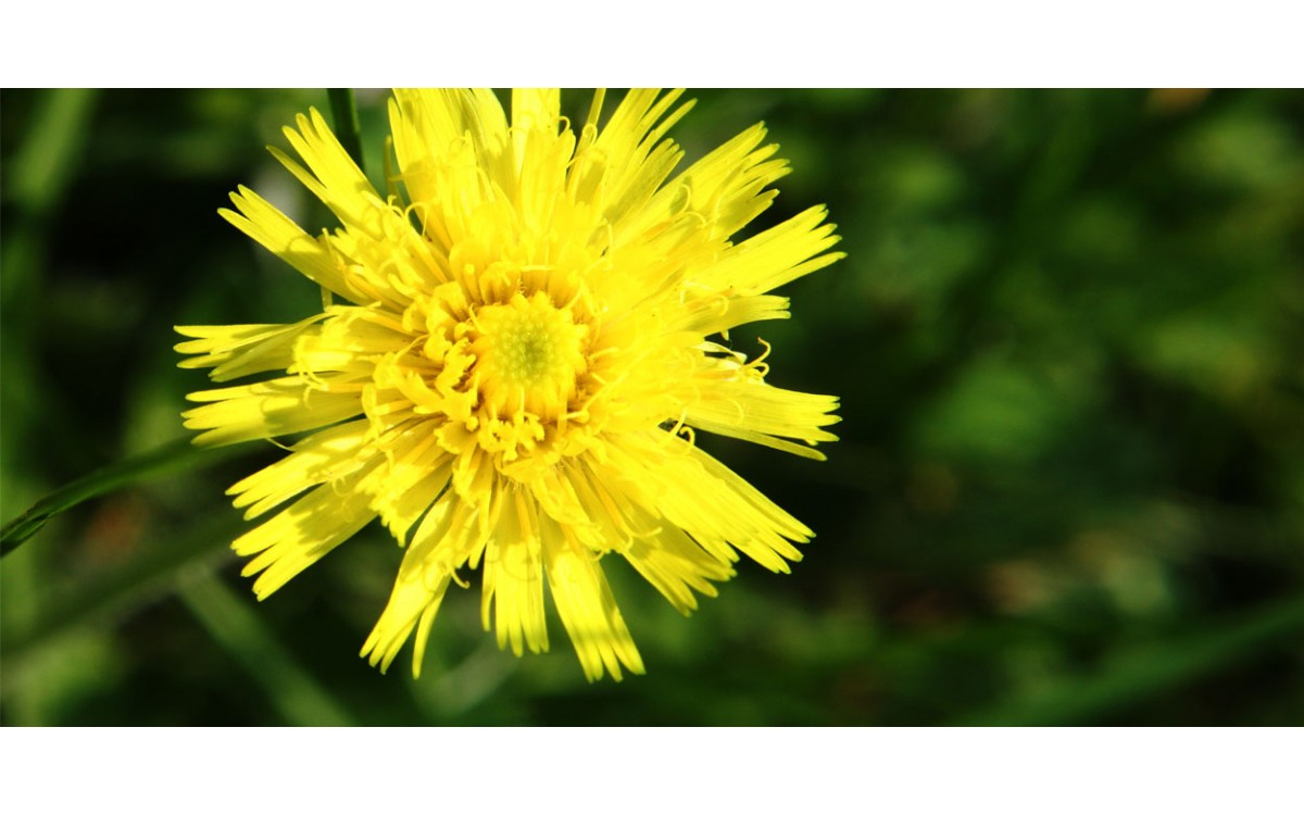 La Vellosilla un diurético efectivo para tu organismo que elimina tu celulitis