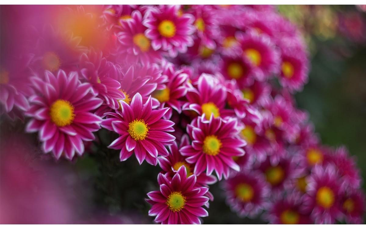 La Magarza, un cultivo que embellece tu jardín, ocasionando, efectos aromáticos.