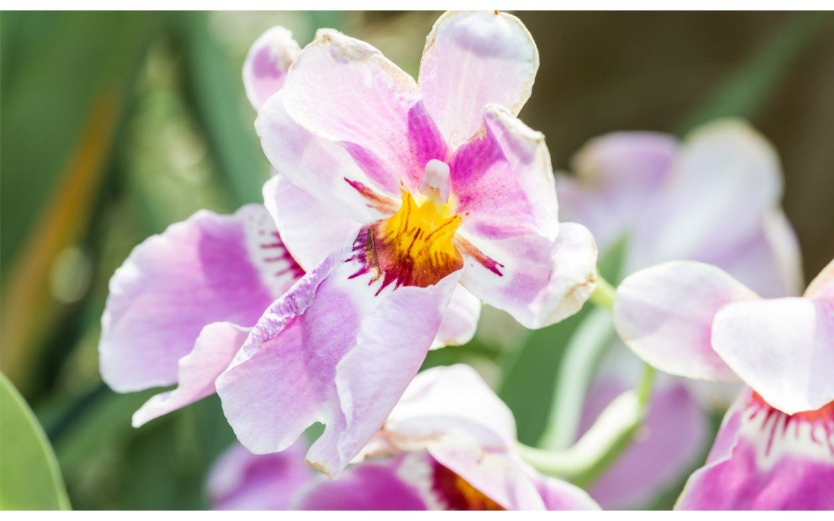 La Vanda: Una Orquídea de Singapur