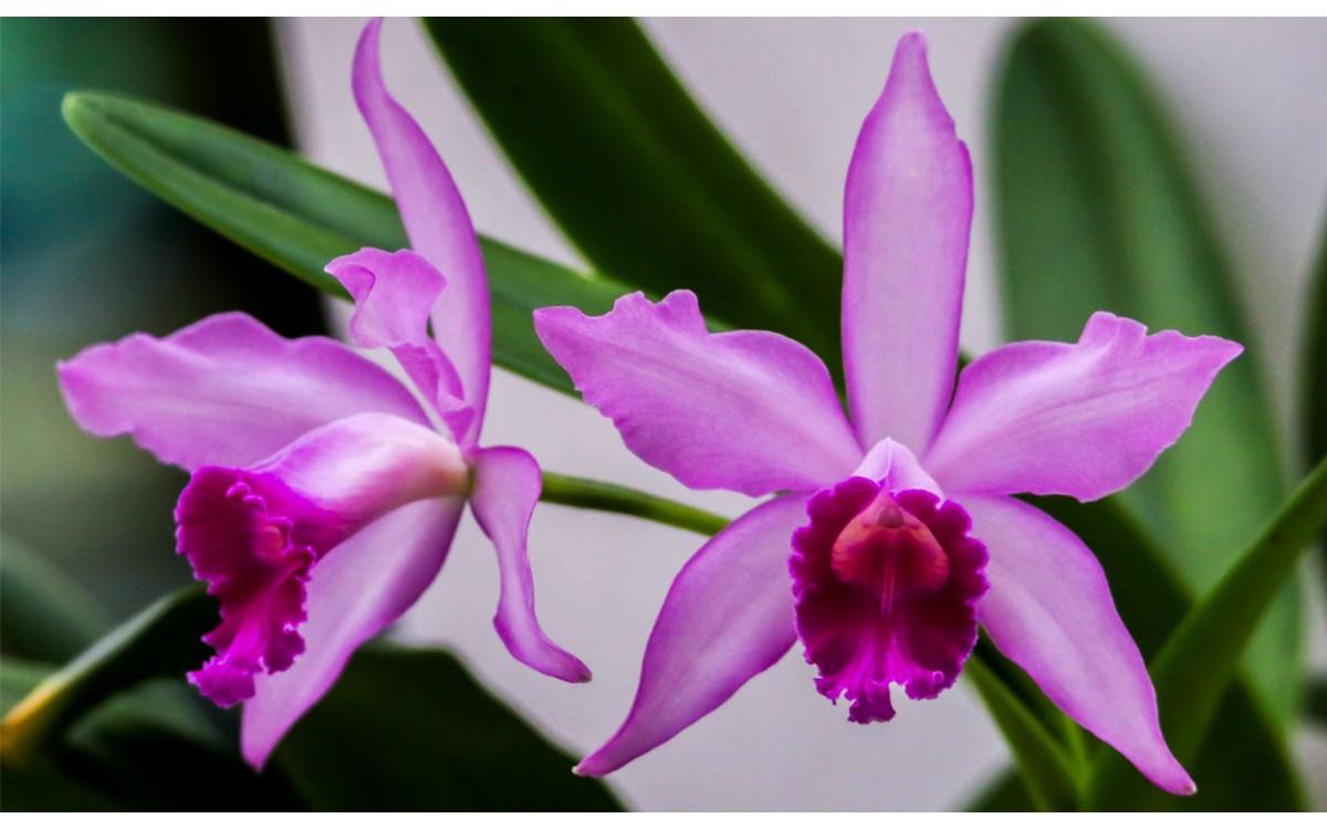 La reina de las orquídeas exóticas: La Cattleya