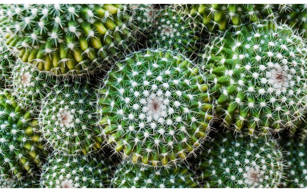 Las exóticas plantas de cactus