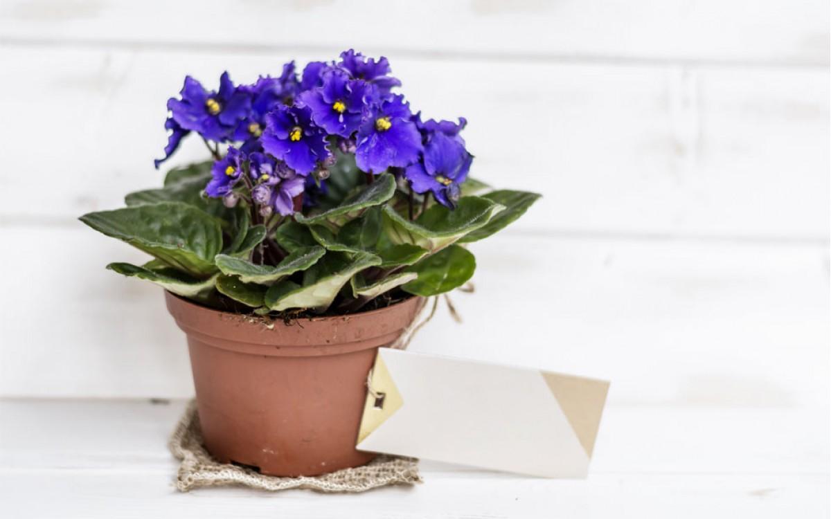 Las violetas de Mama | Feliz día de las Madres