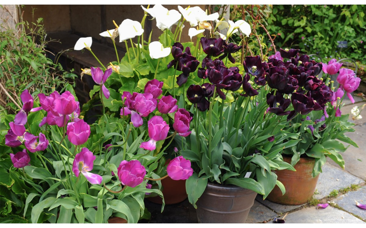 Lirios vs. Tulipanes