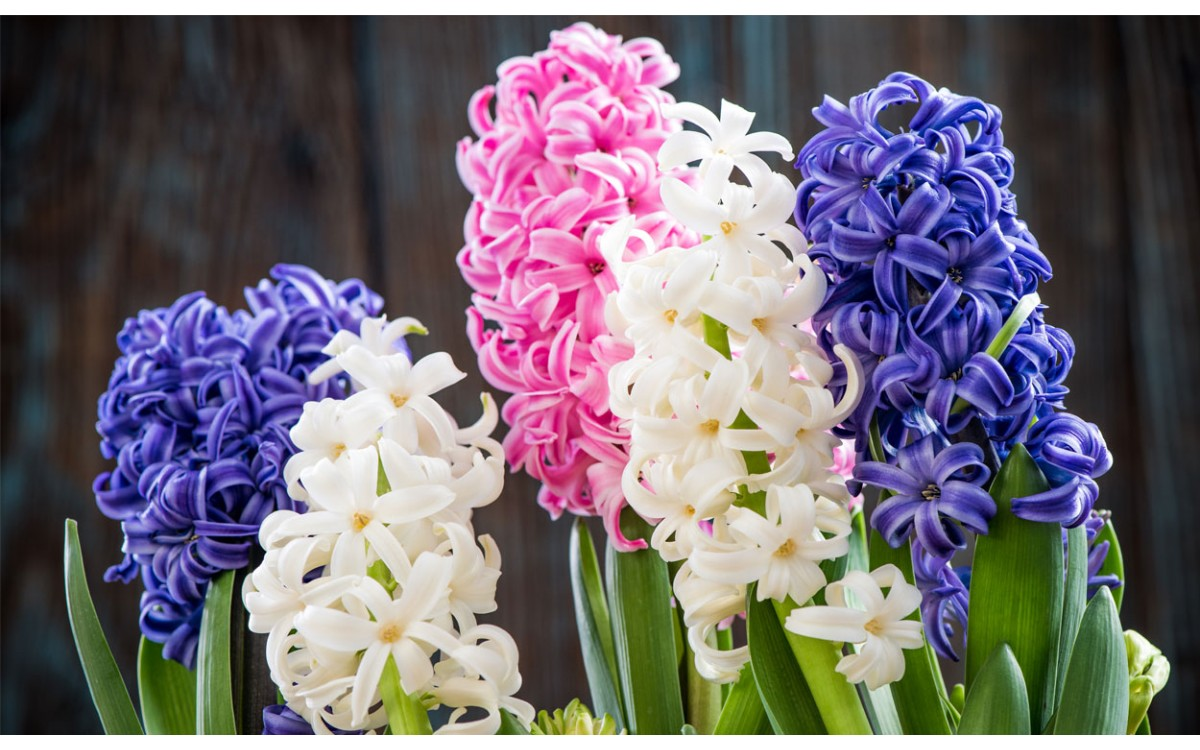 Los jacintos y la variedad de colores