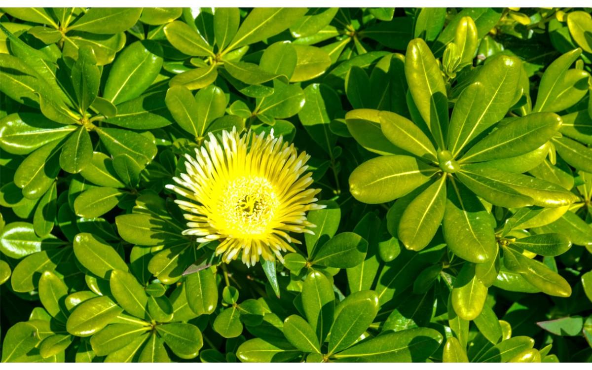 Pittosporum Tobira Nana, la preferida de la zona costera