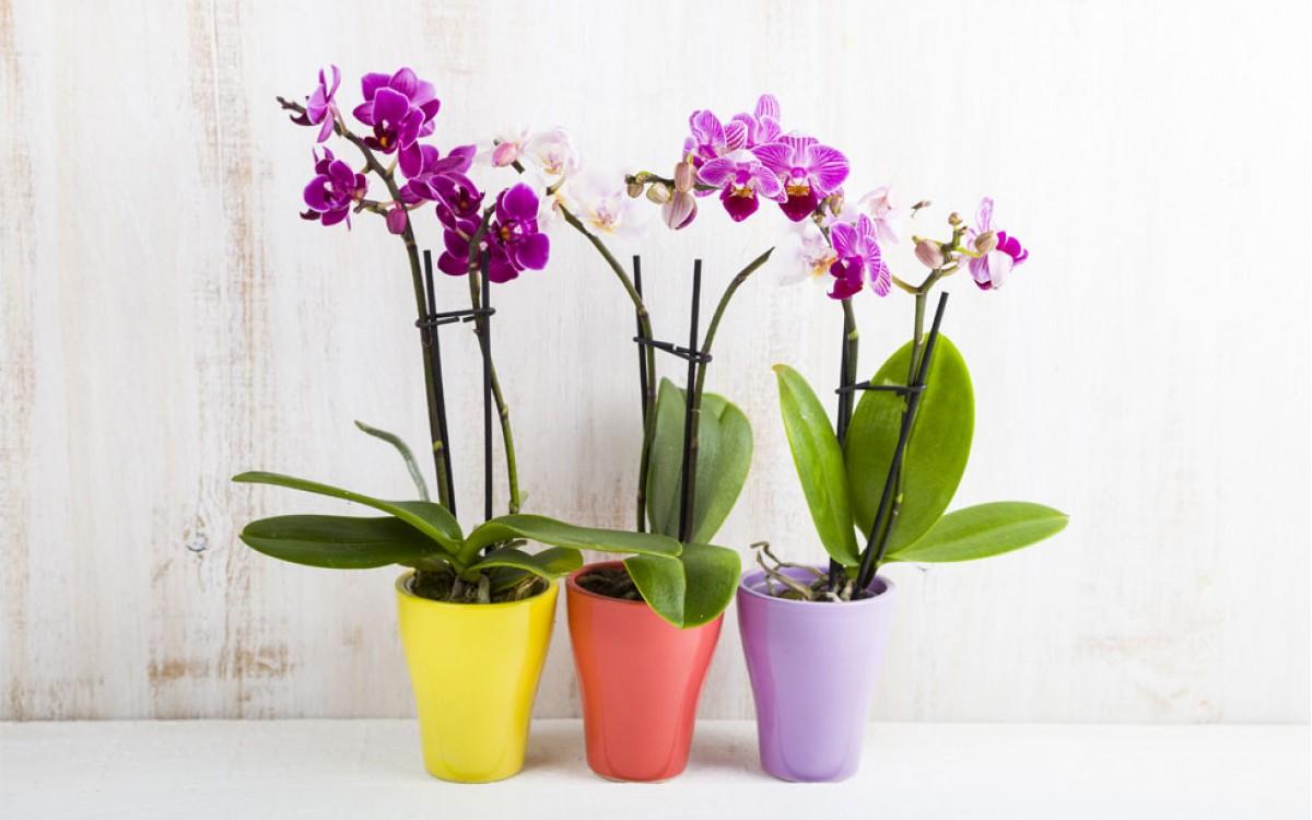 Regalar Orquideas Rosas