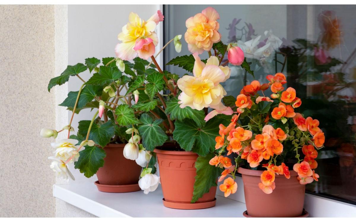 Sembrado y cuidado de las Begonias en macetas