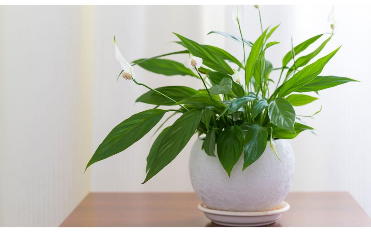 Spathiphyllum, la planta que lleva salud a tu hogar