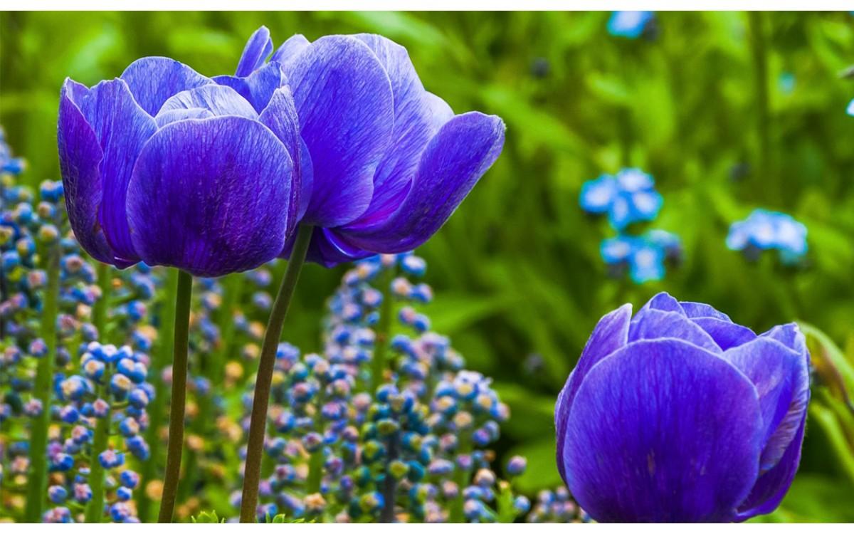 Tulipanes azules: ¿Cómo cuidarlos?