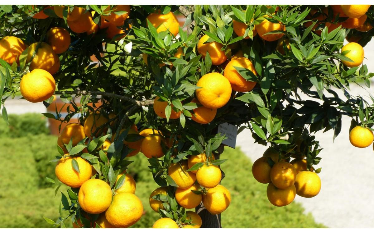 Consigue Tu Chinoto Con El Citrus Myrtifolia